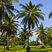 palma kokosowa zastosowanie