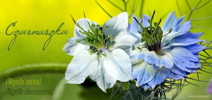 czarnuszka siewna o jasno błękitnych płatkach i damasceńska o bardziej niebieskiej kolorystyce na tle łąki