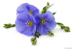 kwiat lnu z niebieskimi płatkami i zawiązkami nasion siemienia lnianego