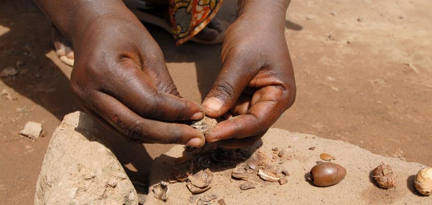 afrykańska kobieta obierająca naiona z drzewa masłosza ma masło karite