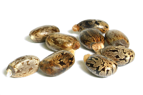 nasiona rącznika ricinus communis