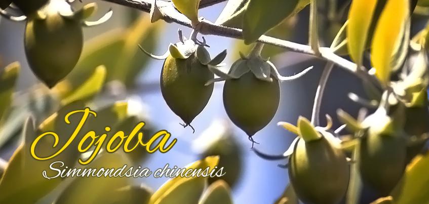 owoce dziko rosnącego krzewu jojoba z orzechów którego jest wytwarzany olejek z jojoby