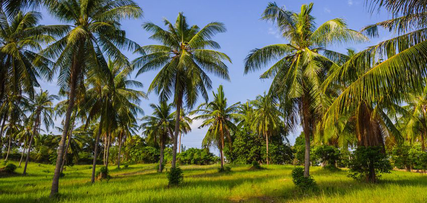 Palma kokosowa rosnąca w słoneczny dzień w Tajlandii