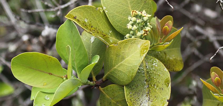 drzewo sandałowe -  santalum paniculatum