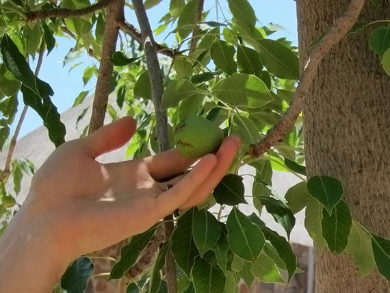 drzewo marula i jego owoce