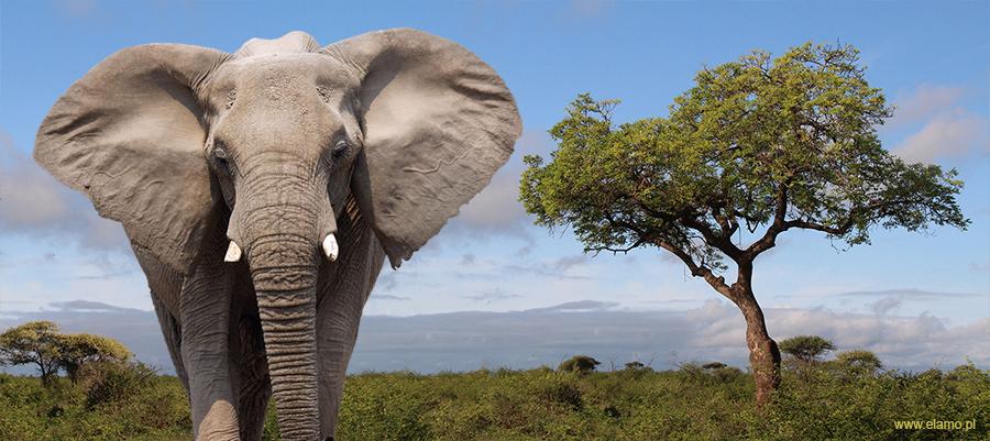 Słoń Afrykański i Drzewo Marula w tle