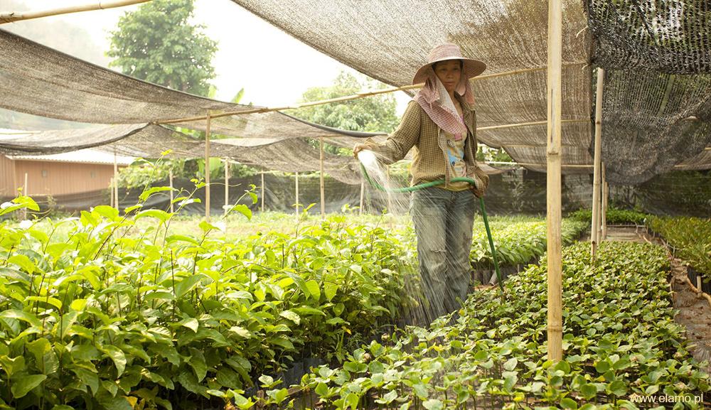 Uprawa sacha inchi w Amazonii