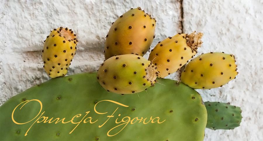 opuncja figowa - kaktus obsypany owocami