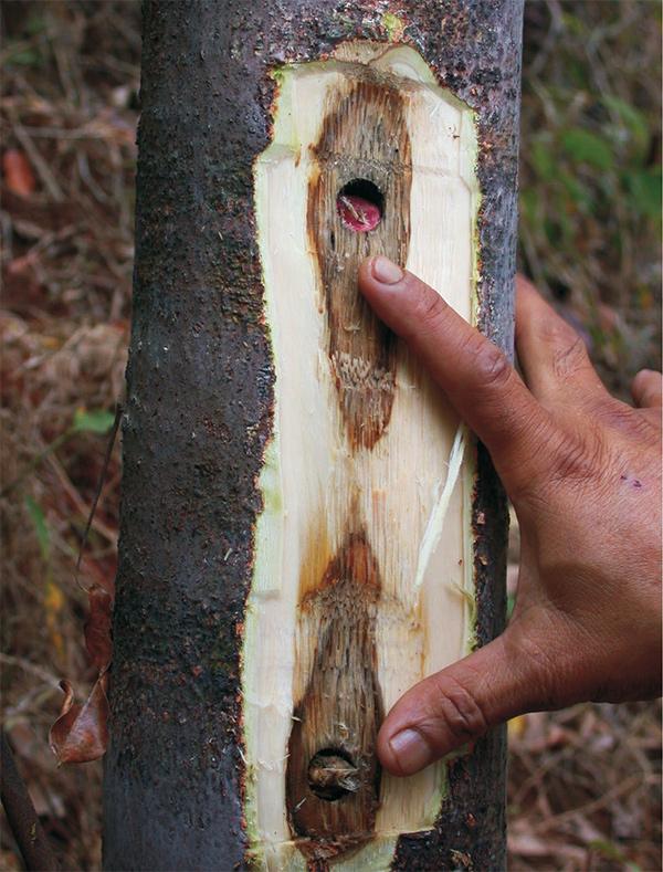 infekowanie drzewa agarowgo