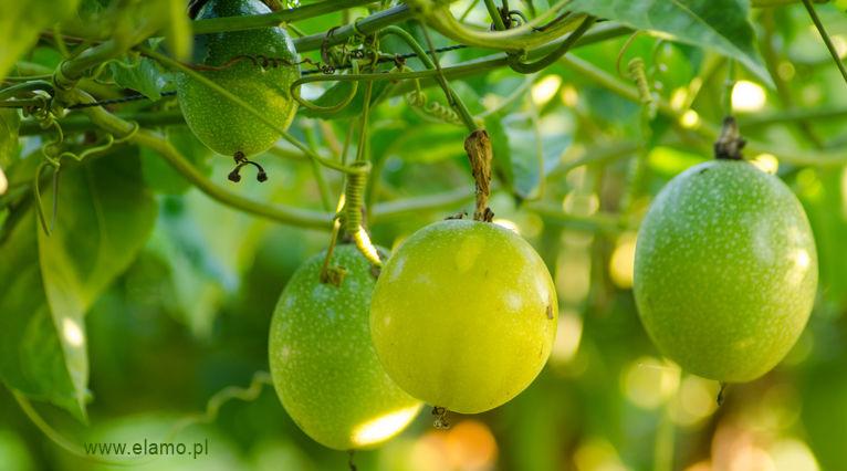 męczennica jadalna rosnąca w naturze